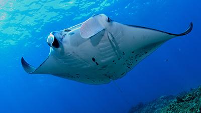 monitoring and documenting manta rays