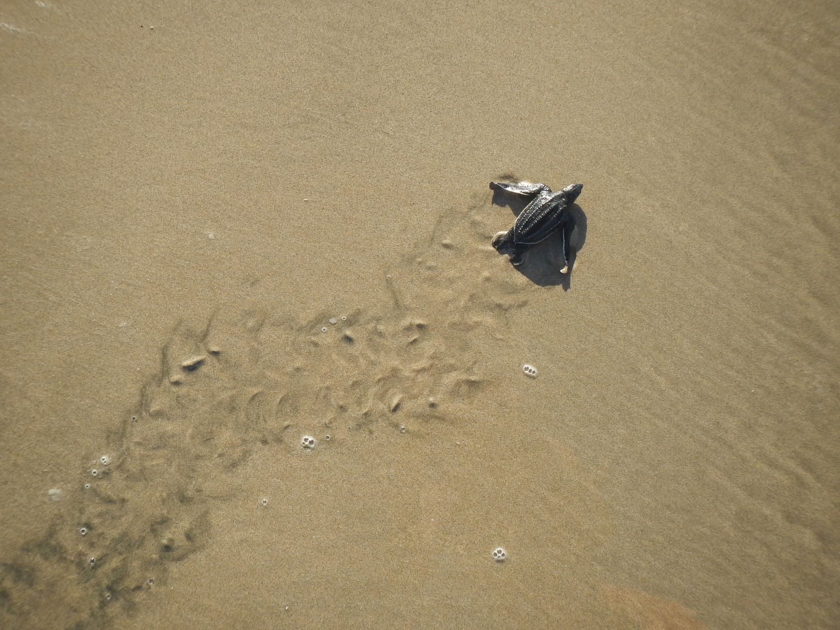 leatherback hatchling to sea | Earthwatch