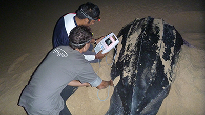 Observe and monitor nesting leatherbacks © Nathan Robinson