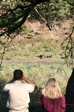 Volunteers observing african white rhino in the wild