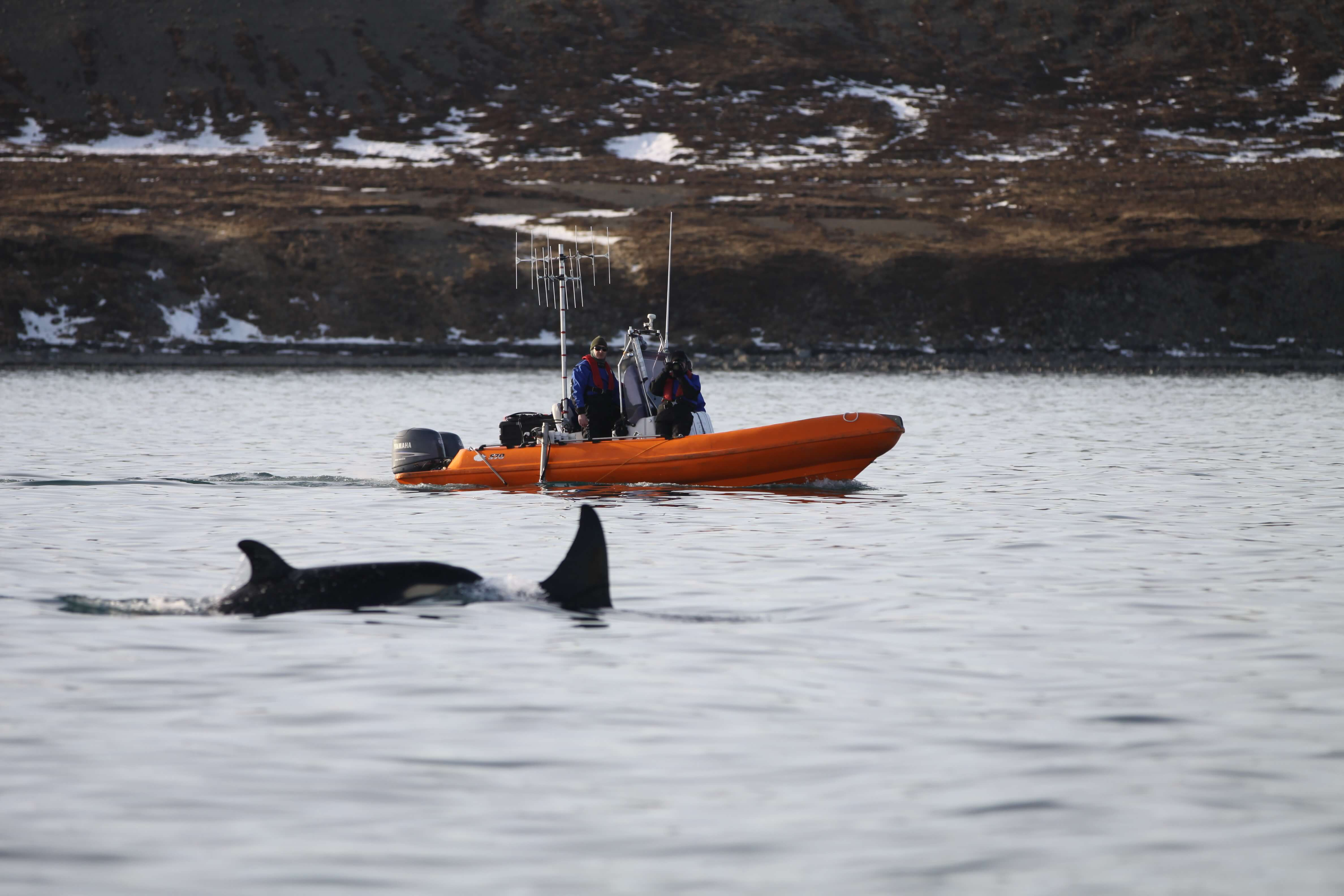 Researchers with killer whale