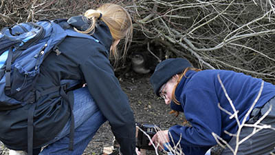 Earthwatch volunteers monitor a nesting African penguin (C) Alix Morris