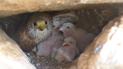 A female kestrel in a nest with several chicks