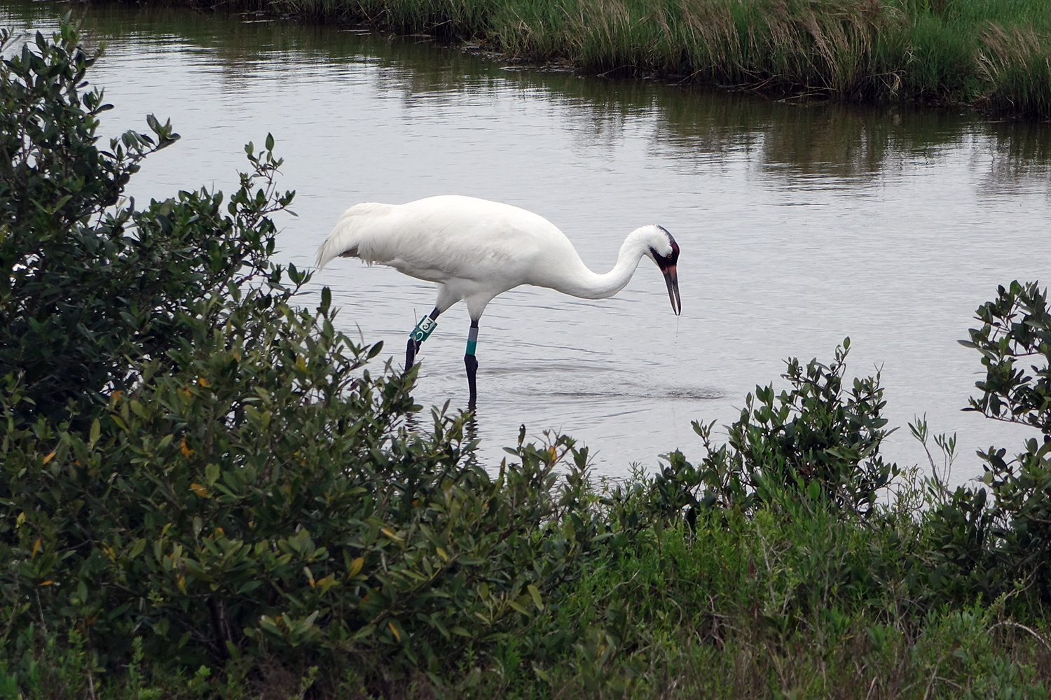 A large whooping crane wades in the water (C) Dianna Bell