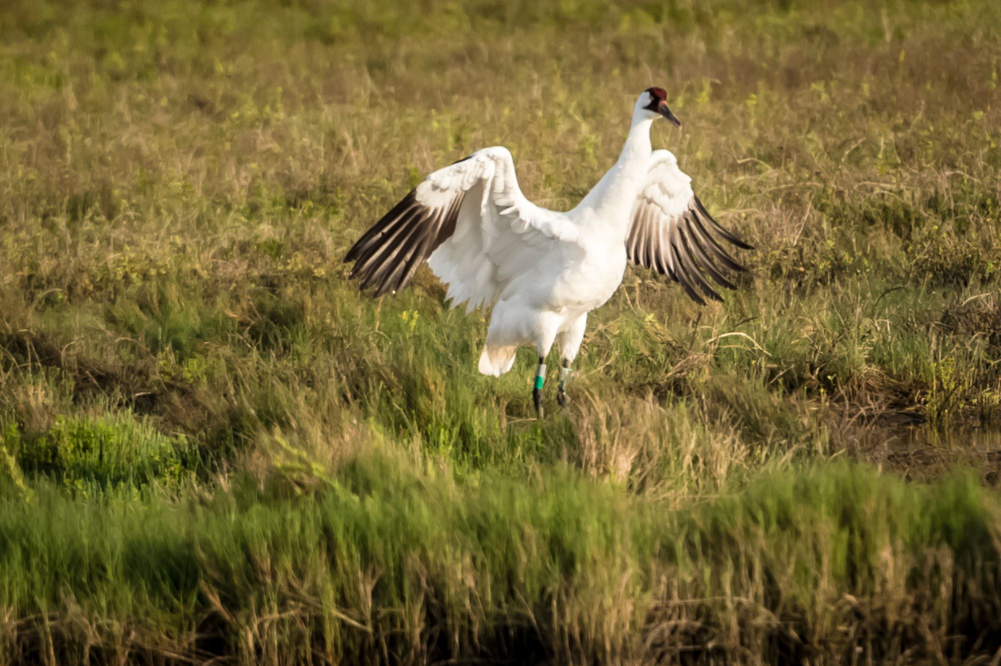 whooping crane spreads wings - credit barb rumer