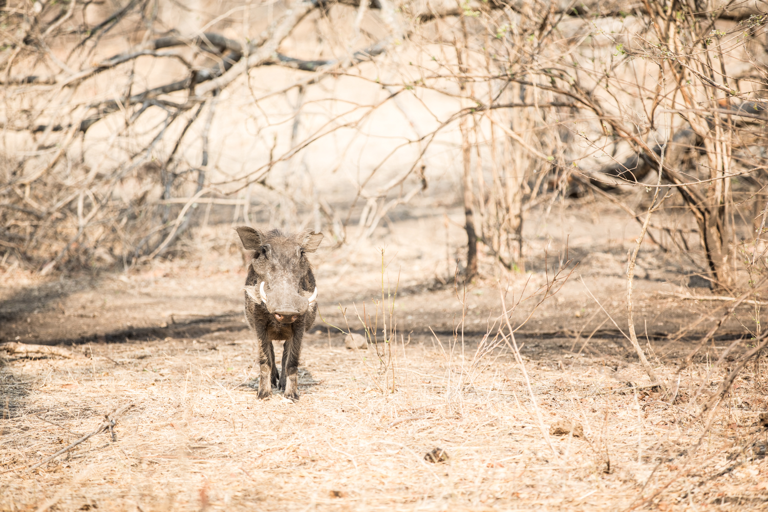 A warthog in Majete (credit Nico Wills)