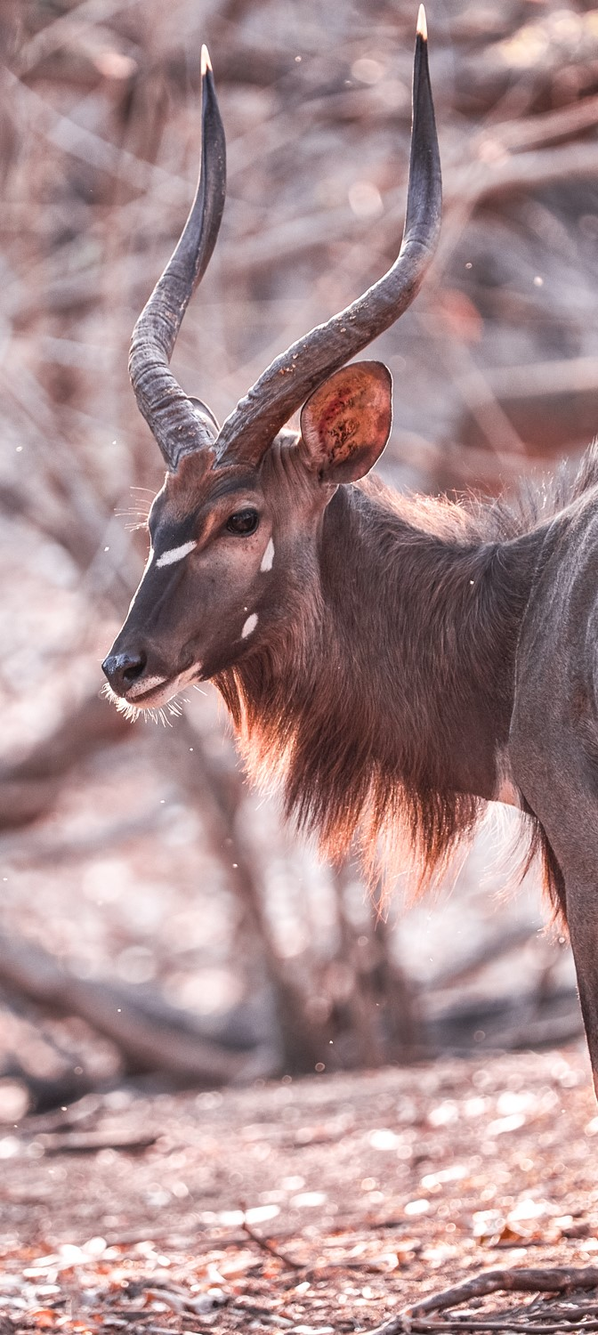 An African antelope (credit Nico Wills)