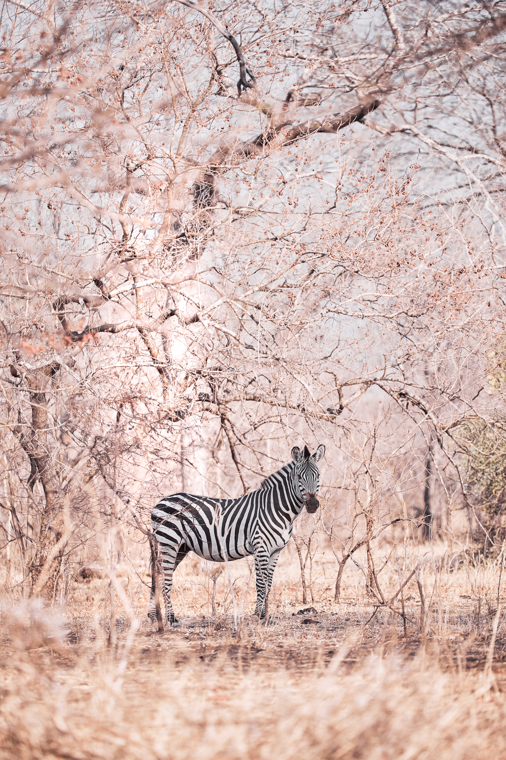 A zebra in Africa (credit Nico Wills)