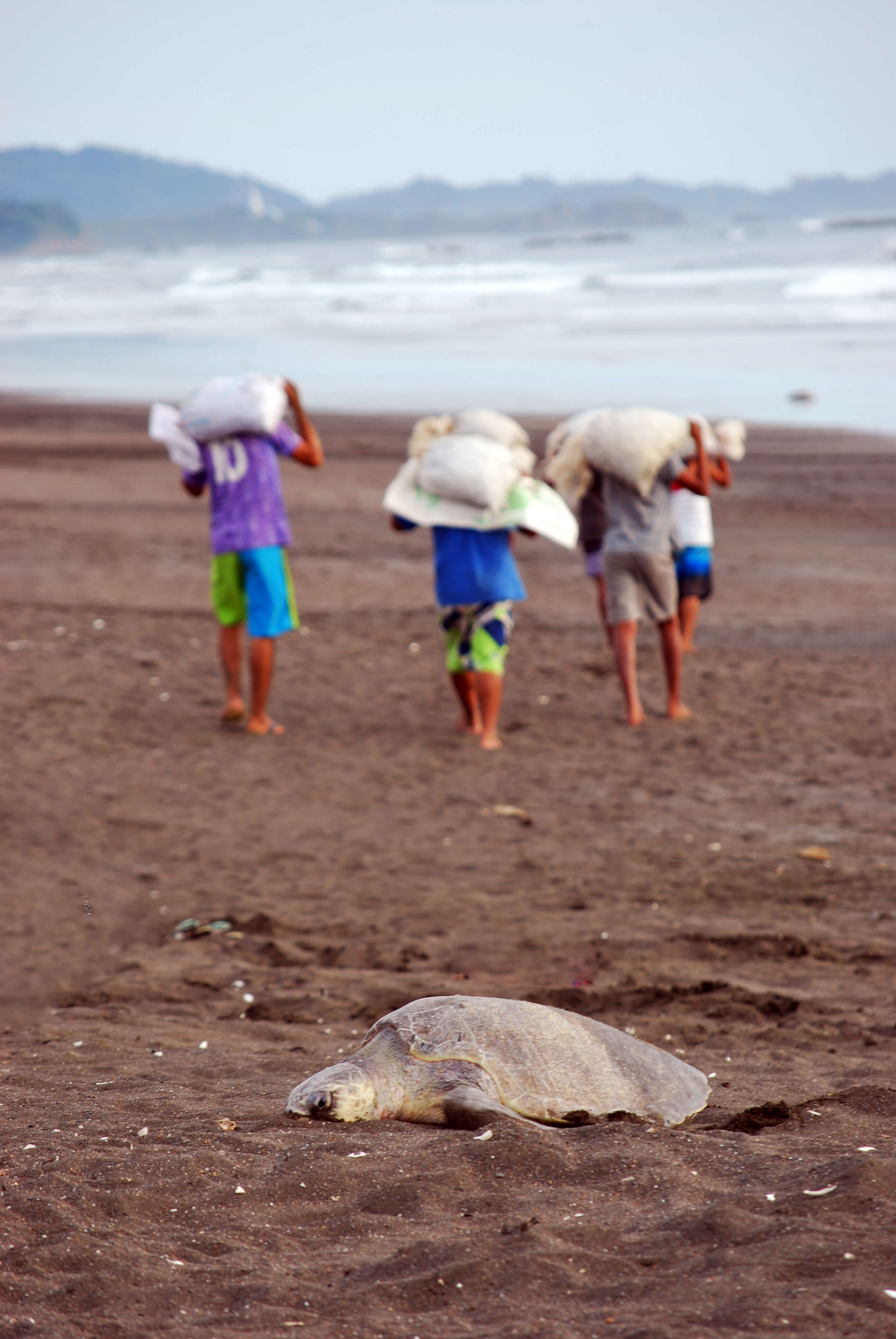 Olive ridley egg harvesting | Earthwatch