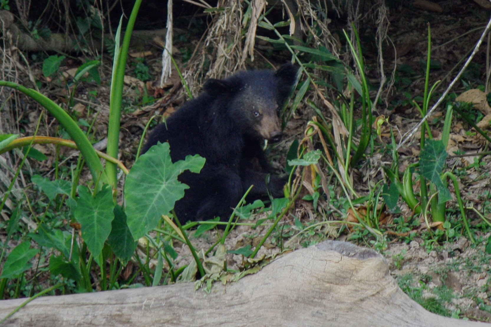 A baby Asiatic black bear, also known as a moon bear.