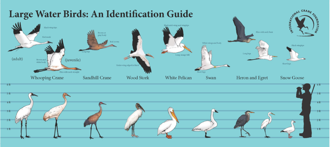 A handout given to hunters to help them identify Whooping Cranes.