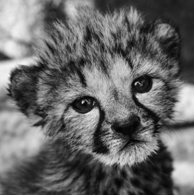 A small cheetah cub (credit Nico Wills)