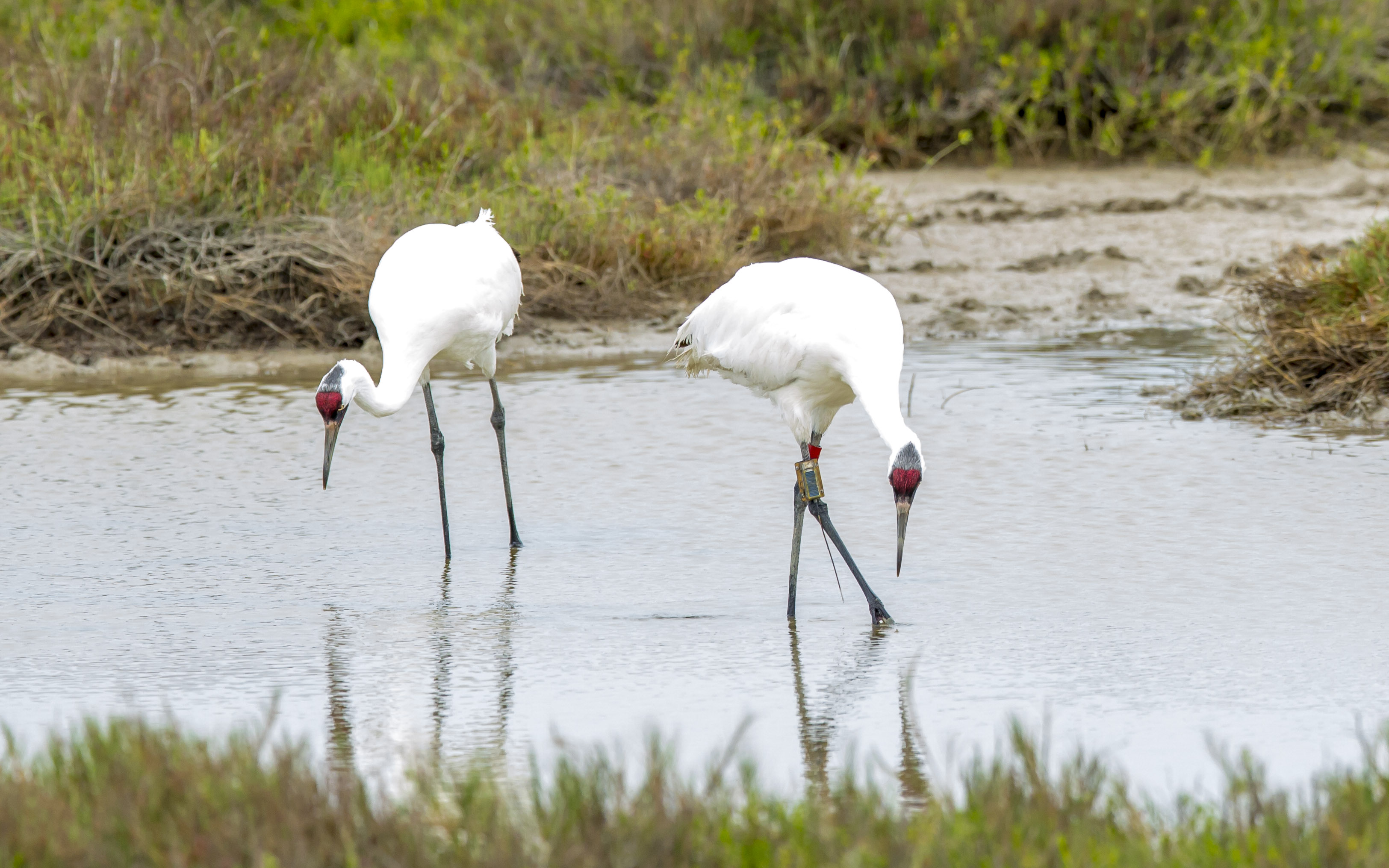 Whooping cranes foraging in Texas