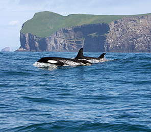 Killer Whales and Their Prey in Iceland
