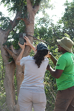 Earthwatch volunteers install a camera trap in a tree