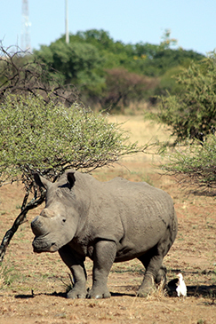 A large white rhino on the reserve