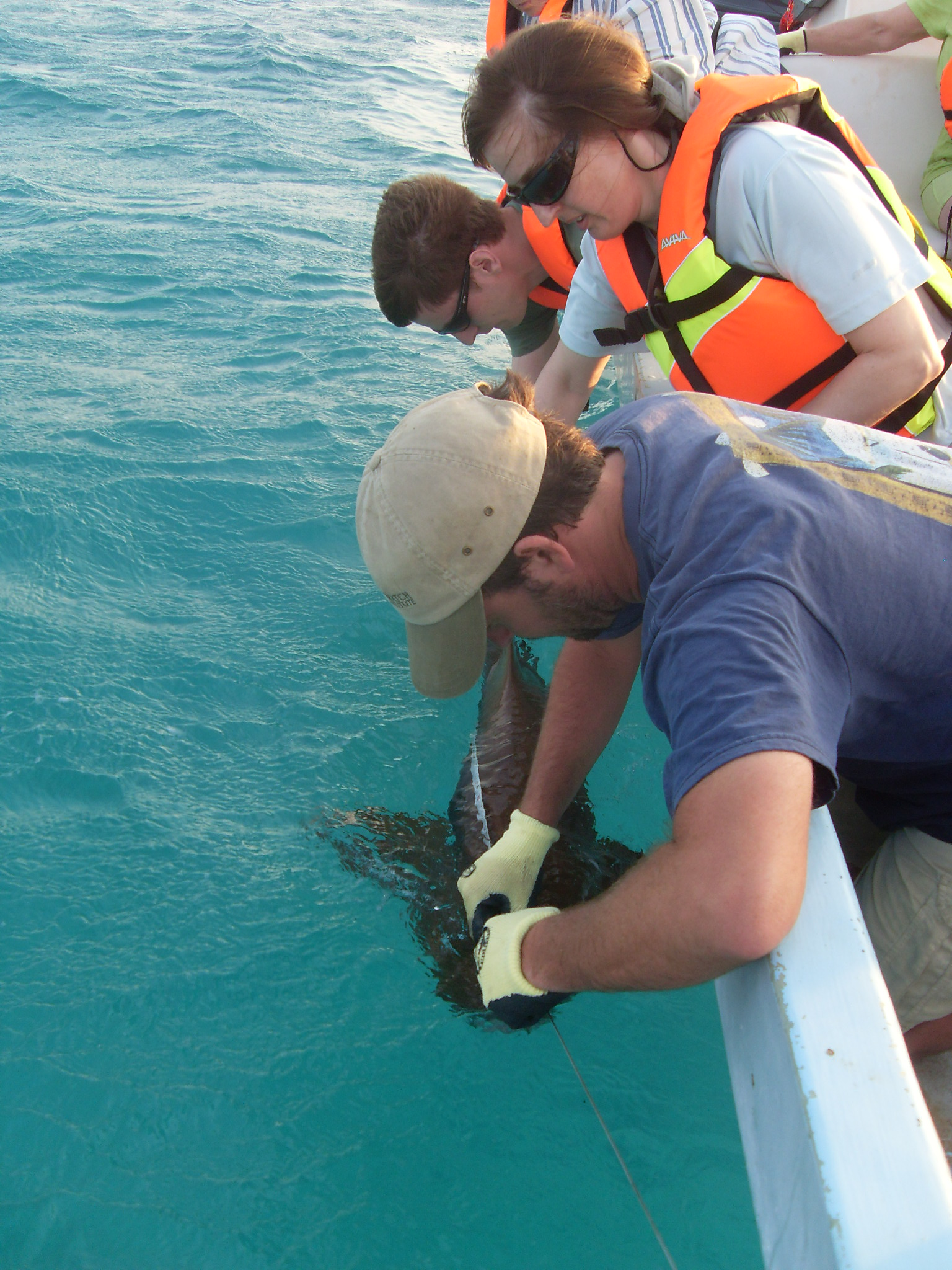 A researcher catches a nurse shark alongside the boat.