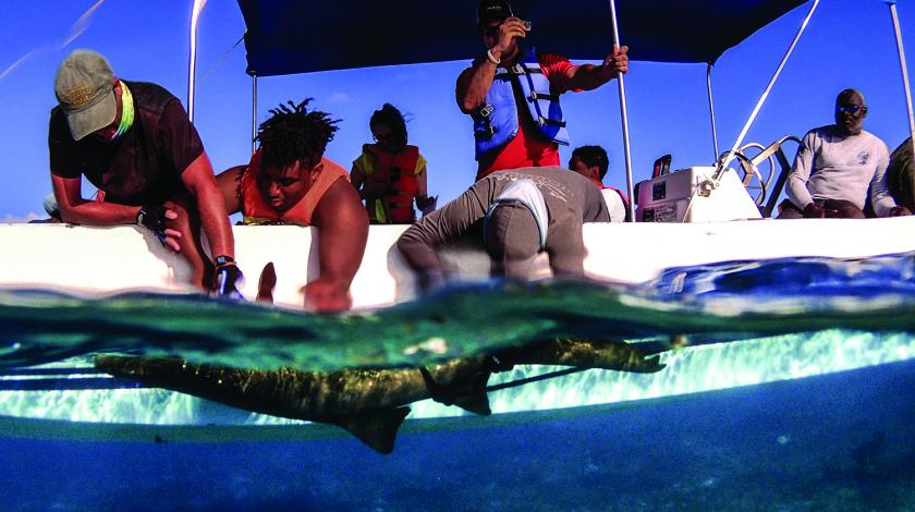 The team will then take DNA samples, tag, measure, and implant transmitters from the sharks before releasing them.
