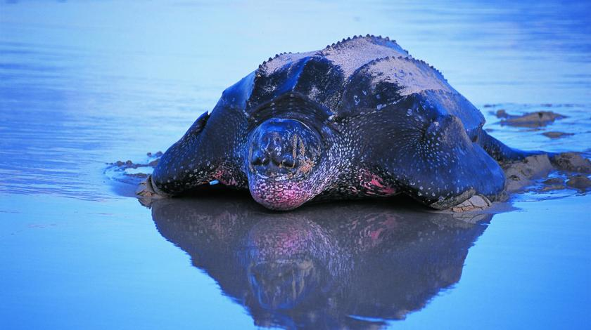 A female leatherback sea turtle comes ashore to lay her eggs | Earthwatch