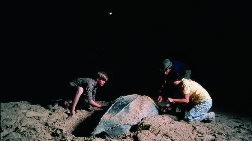 Earthwatch volunteers collect data on a nesting female leatherback