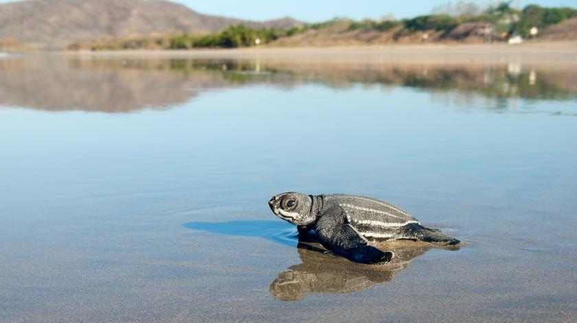 A leatherback sea turtle hatchling sprints to the ocean | Earthwatch
