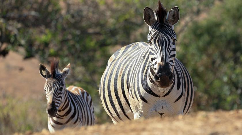 Two zebras grazing in the Africa savanna