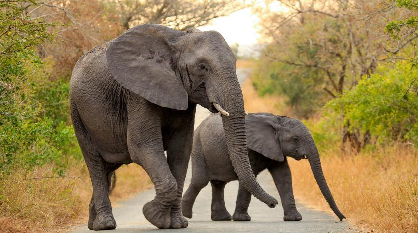 Mother and baby elephant walking across a road in Africa