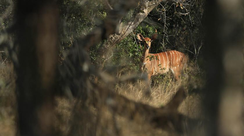 African wildlife spotted from a distance through vegetation