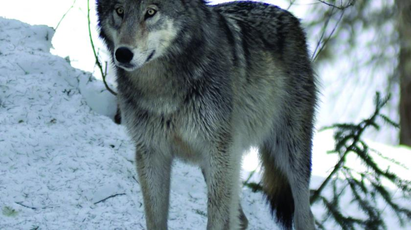 Canadian wolf on a patch of snow in the woods