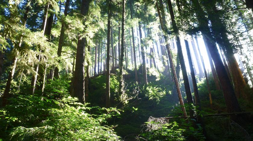Sunlight filtering through the towering trees of the Olympic forest