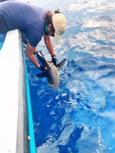 Earthwatch lead scientist Dr. Demian Chapman releases a shark after tagging on the expedition Shark and Ray Conservation in Belize.