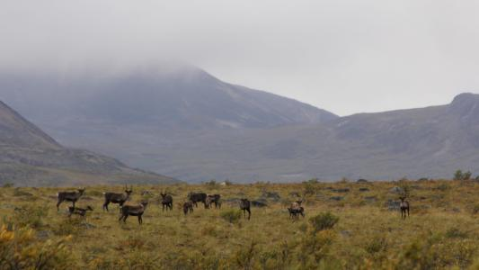 Wildlife in the Mackenzie Mountains