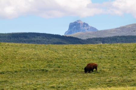 bison in the distance