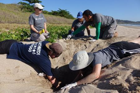 Earthwatch volunteers dig on the beach in costa rica