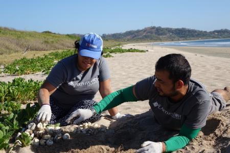 Earthwatch volunteers count sea turtle eggs on the beach