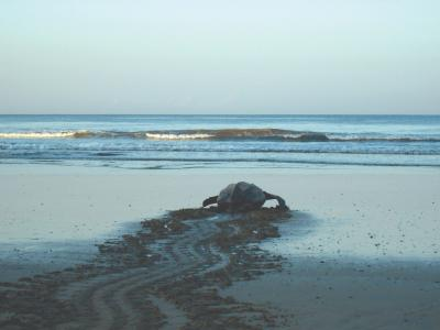 leatherback turtle heads out to the ocean