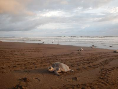 sea turtles come up the beach