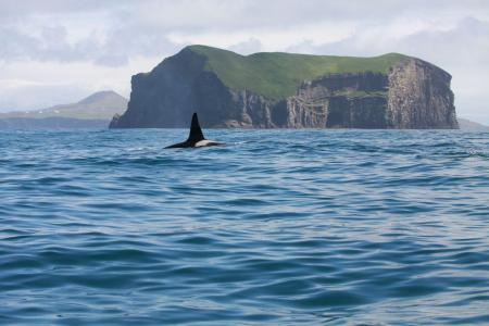 A killer whale surfaces in the distance (C) Icelandic Orca Project