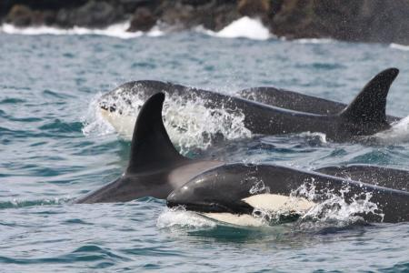 A pod of killer whales surfaces (C) Icelandic Orca Project