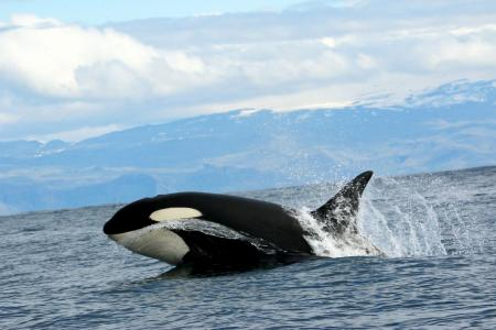 A killer whale leaps out of the water (C) Kathy Kelly