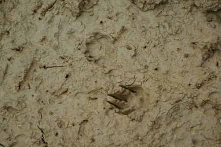 Analyze tracks to determine the presence of large mammals (credit Stan Rullman)