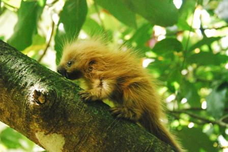 An orange-spined Hairy Dwarf Porcupine spotted scuttling up a tree© Dr. Manoel Muanis