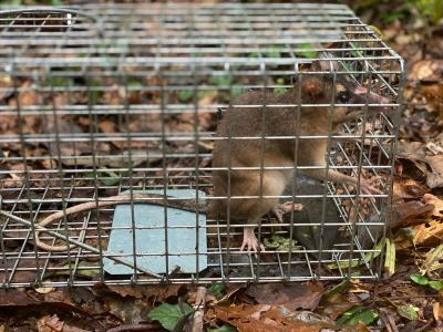 A small mammal captured in one of the project's traps