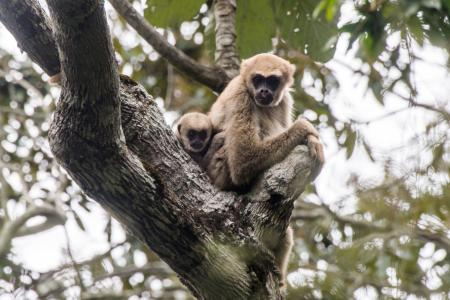 A Southern muriqui monkey perched with her baby© Shutterstock
