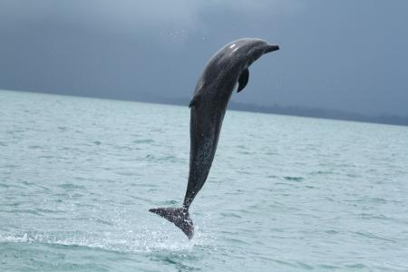 A dolphin leaps out of the water (C) Dr. Lenin Correa Oviedo