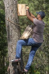 Earthwatch volunteer climbs a tree in Cuba