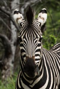 zebra south africa credit john lechner