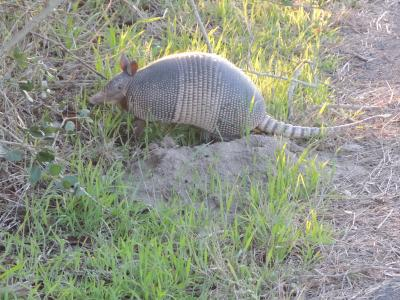 An armadillo on the side of the road