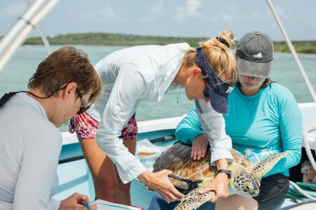 Volunteers collecting data on and tagging a green sea turtle