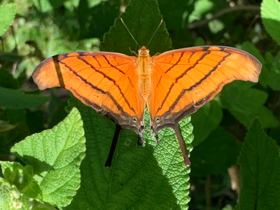 An orange butterfly in Costa Rica (credit Renee White)